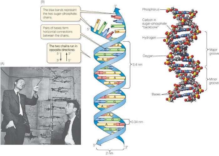 explain how dna serves as its own template during replication - replication of dna